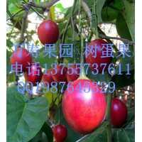 万寿果园供应树蛋果鲜果 鸡蛋一样大小的奇特水果 香甜可口