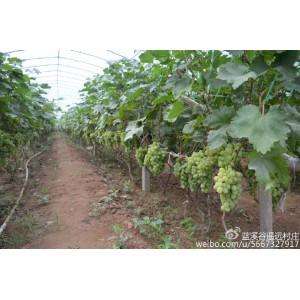 蓝溪谷•遥远村庄有机葡萄新鲜上市啦!童年的记忆
