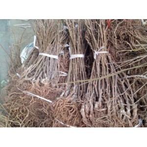 30年猕猴桃嫁接经验,直供正宗苗木,量大从优,欢迎订购!