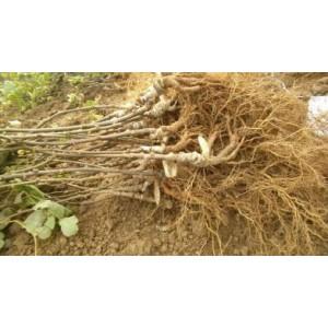 红阳猕猴桃苗木热中,品种优良,量大从优!