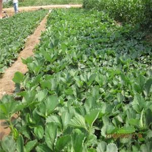 山东草莓苗供应 新草莓苗品种价格