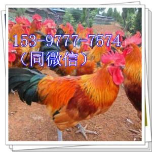 自贡鸡苗哪里有卖的鸡棚