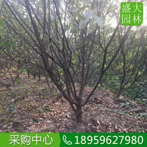 上海碧桃,上海地苗碧桃什么价,上海碧桃地苗种植户