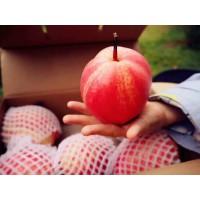 供应优质早酥红梨嫁接苗批发栽培