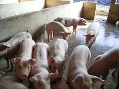 厂家直销的猪养殖:供应山西特色的誉隆牛羊养殖—猪